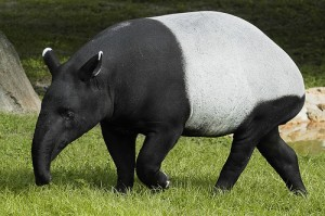tapir-conservation-project